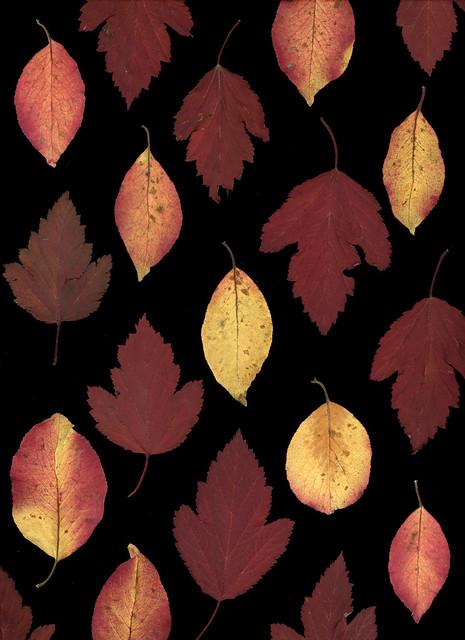 60903.01 Viburnum prunifolium, Physocarpus opulifollius 'Monlo'
