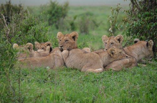 Lion at Ol Jogi Kenya