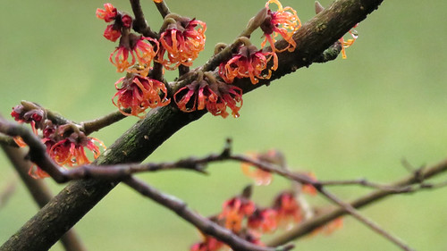 orange Witch Hazel in bloom on January 9, 2021 (Vancouver, Canada)