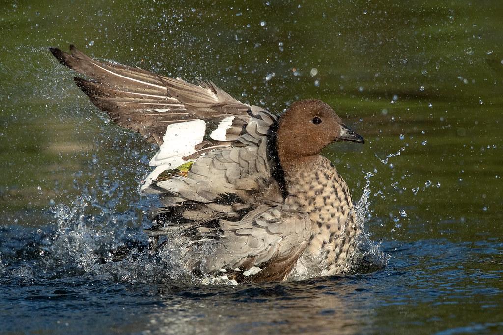 Maned Duck (Chenonetta jubata)