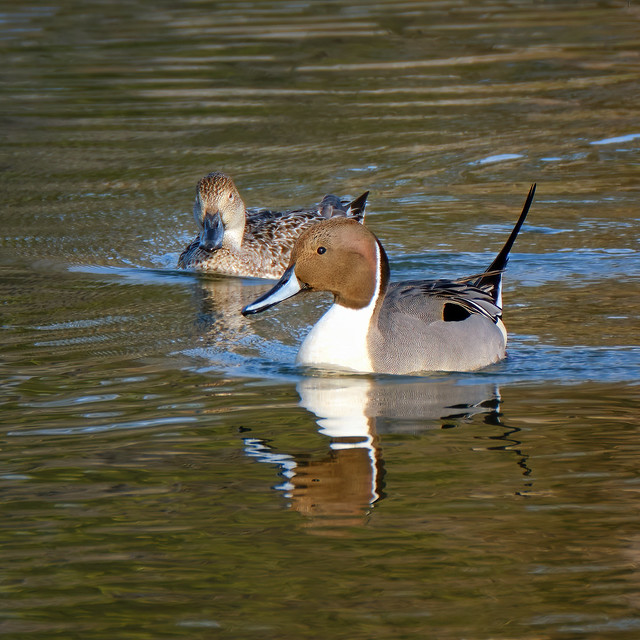 Mr & Mrs Northern Pintail