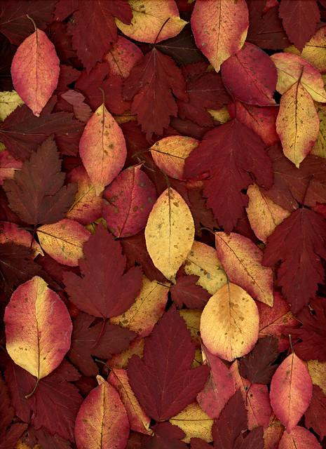 60905.01 Viburnum prunifolium, Physocarpus opulifollius 'Monlo'