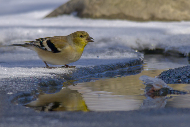 American Goldfinch   River's Edge   Early Morning Light