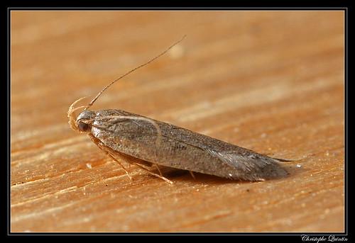 Bryotropha sp.
