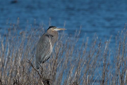 brigantine edwinbforsythenwr forsythe forsythenwr nj birding birds wadingbird waders heron greatblueheron ardeaherodias ardea ardeidae