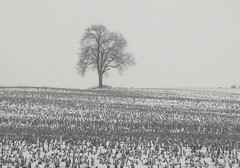 winter, stubble and a lone tree