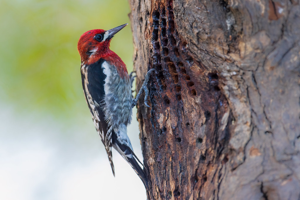 Red-breasted Sapsucker and His Sap