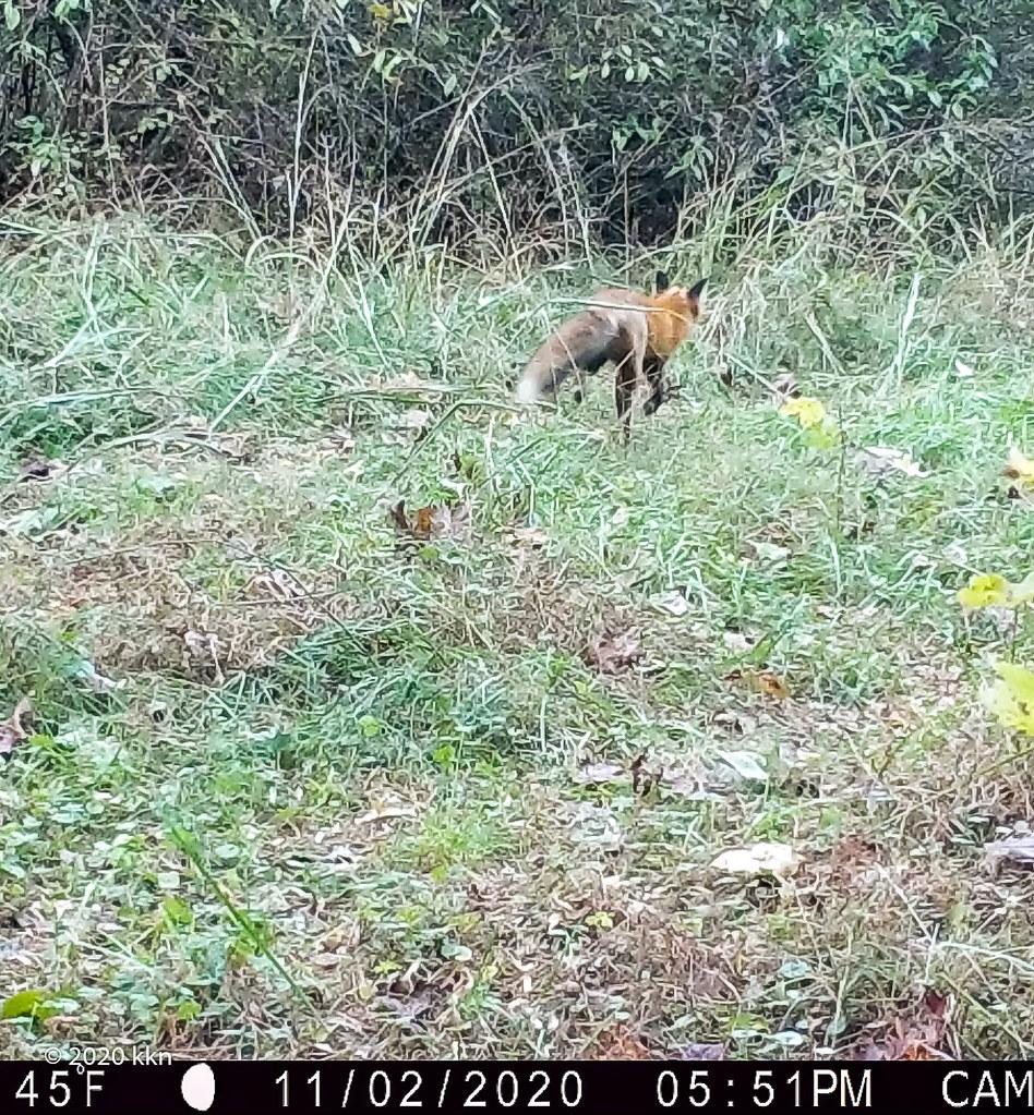 Red Fox returns