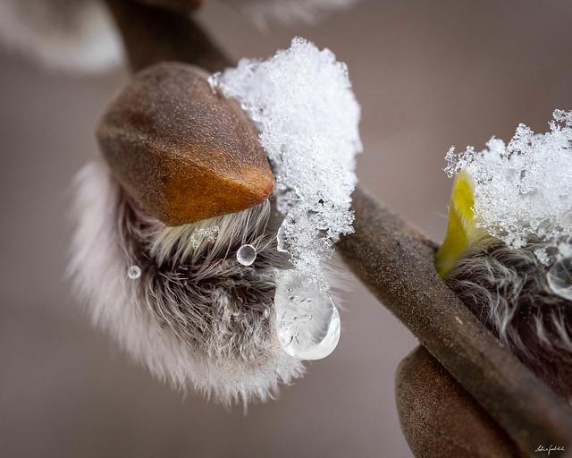 winter wraps itself around the messenger of spring