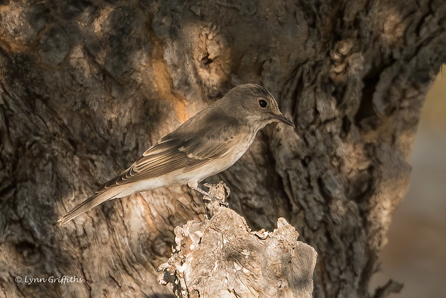 Spotted Flycatcher 502_8215.jpg