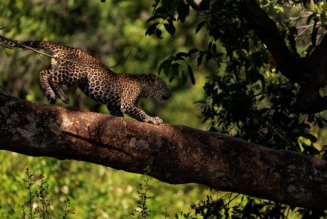Baby Leopard - Kenya