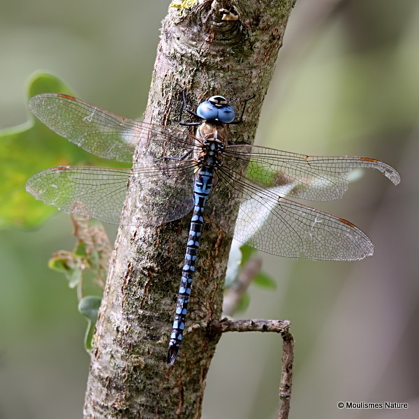 0S8A1205. Southern Migrant Hawker (Aeshna affinis) M