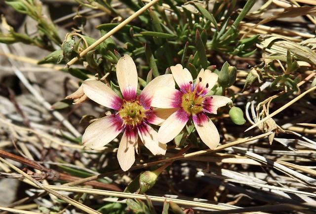 Montiopsis andicola
