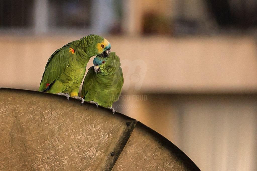 Amor - Papagaio-Verdadeiro | Turquoise Fronted Parrot | Amazona aestiva
