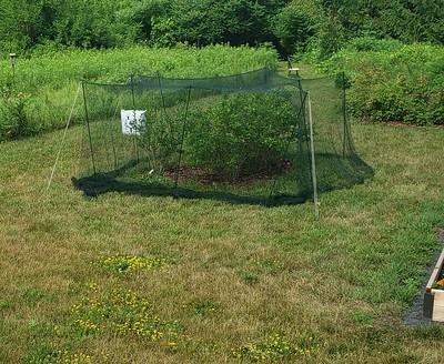 Bird netting over blueberry bushes