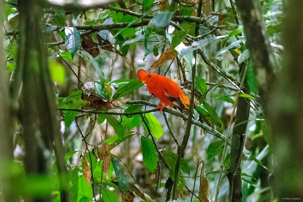 Guianan Cock-of-the-rock (Rupicola rupicola), male