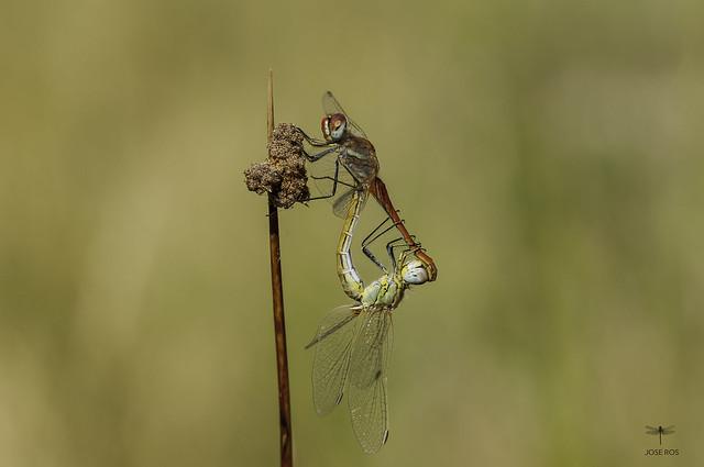 Mating at La Risca