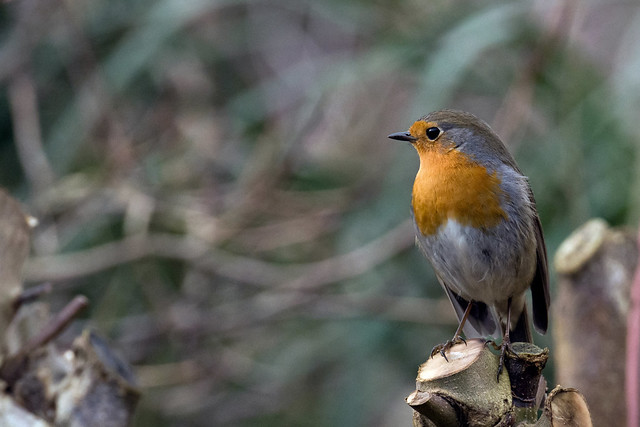 A regular guest - Robin - Roodborstje - Erithacus rubecula