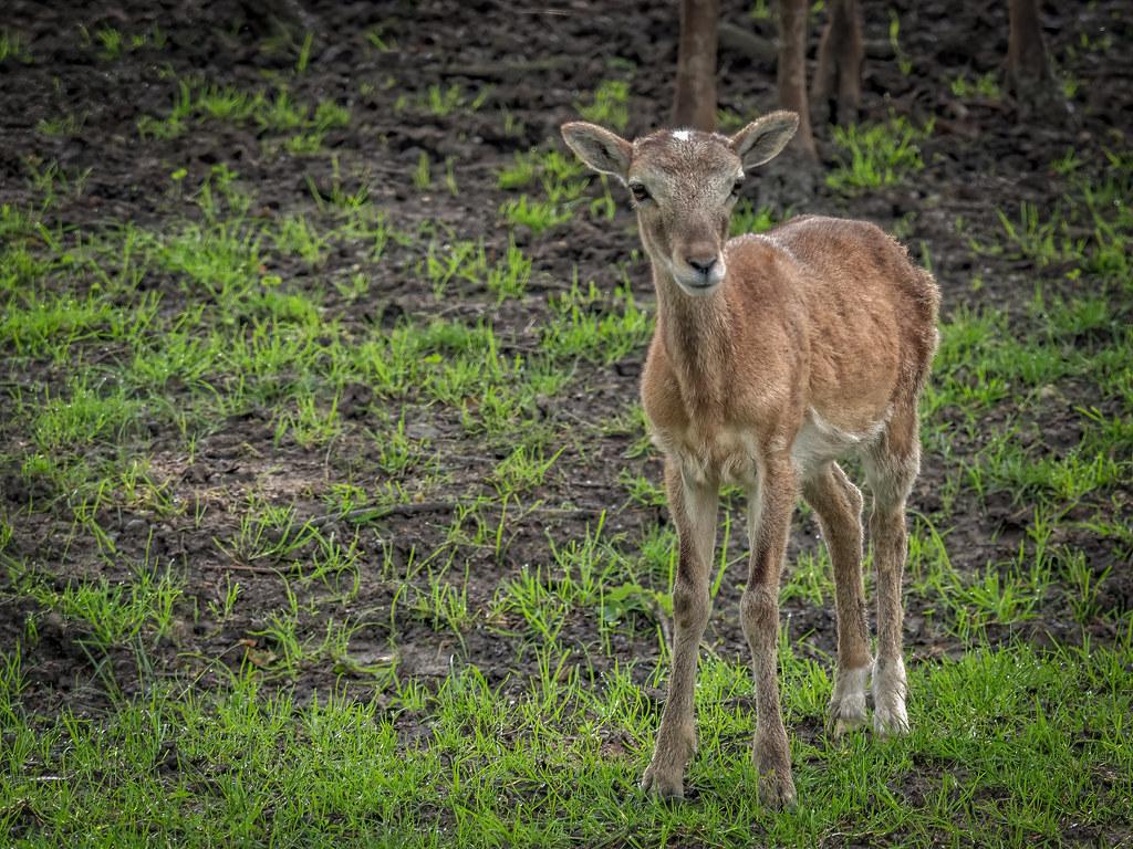 Jeune mouflon... 50930236482_82b58ef5c4_b