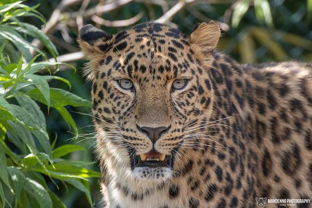 Amur Leopard - Zoo Amneville - France