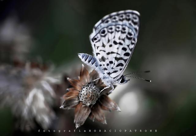 -MARIPOSA YUYERA .. butterfly .Cassius blue (Leptotes cassius) toma en la RECS.! Argentina. Buenos Aires-