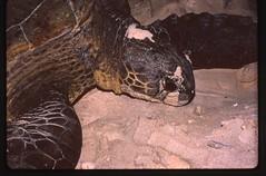 51-10 Kiribati Canton Island Sea Turtle