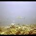 54-59 Kiribati Canton Island UW Ocean Black Tip Shark