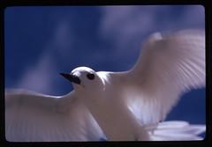 55-44 Kiribati Enderbury Island White Tern