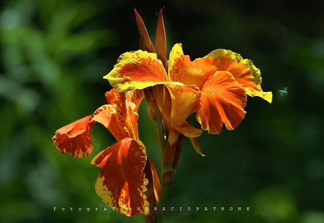 - FLOR ACHIRA RED CON ESTRIAS YELLOWS ..( Canna Indica ) demasiada flor para esa pequeña mosquita metalica toma en RECS, BUENOS AIRES
