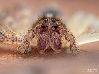 Huntsman spider (Heteropoda sp.) - P2074055