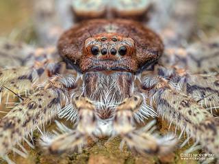 Huntsman spider (Pandercetes sp.) - P2073977b