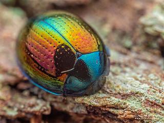 Darkling beetle (Tetraphyllus sp.) - P2063846
