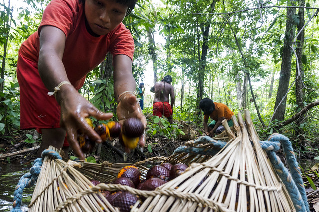Collecting seeds in the forest. Rede de Sementes do Xingu