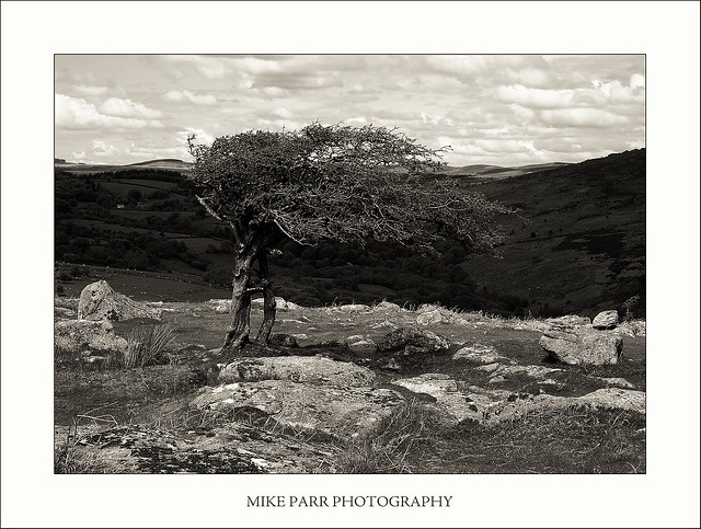 Wind Sculptured Hawthorn Tree, Dartmoor, Devon
