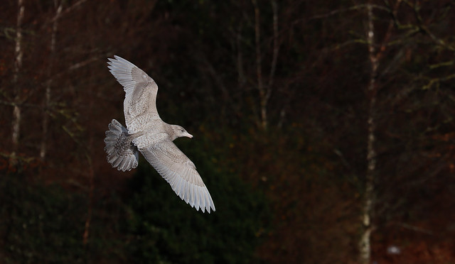 Glaucous Gull - 1st Winter - tap to view