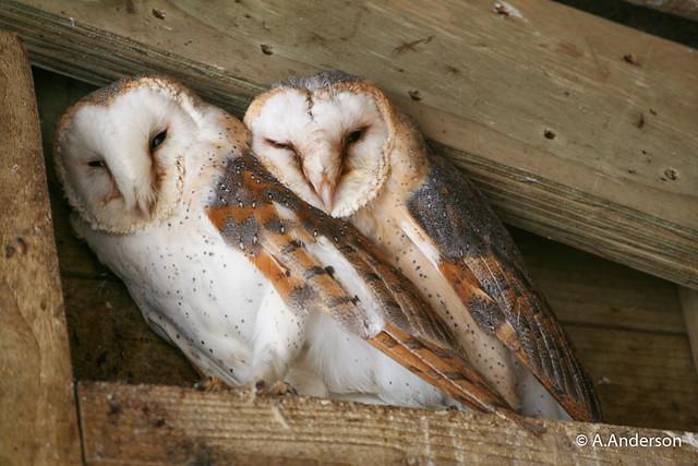 Barn Owl 20060319 OldWarden