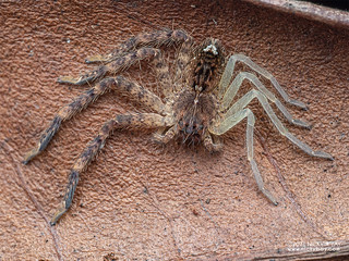 Huntsman spider (Heteropoda sp.) - P2074049
