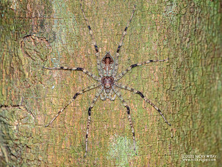 Huntsman spider (Pandercetes sp.) - P2073950