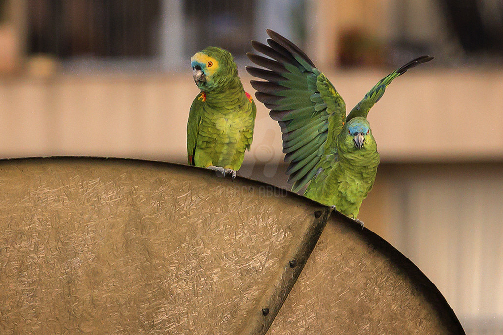 Papagaio-Verdadeiro - Turquoise Fronted Parrot - Amazona aestiva