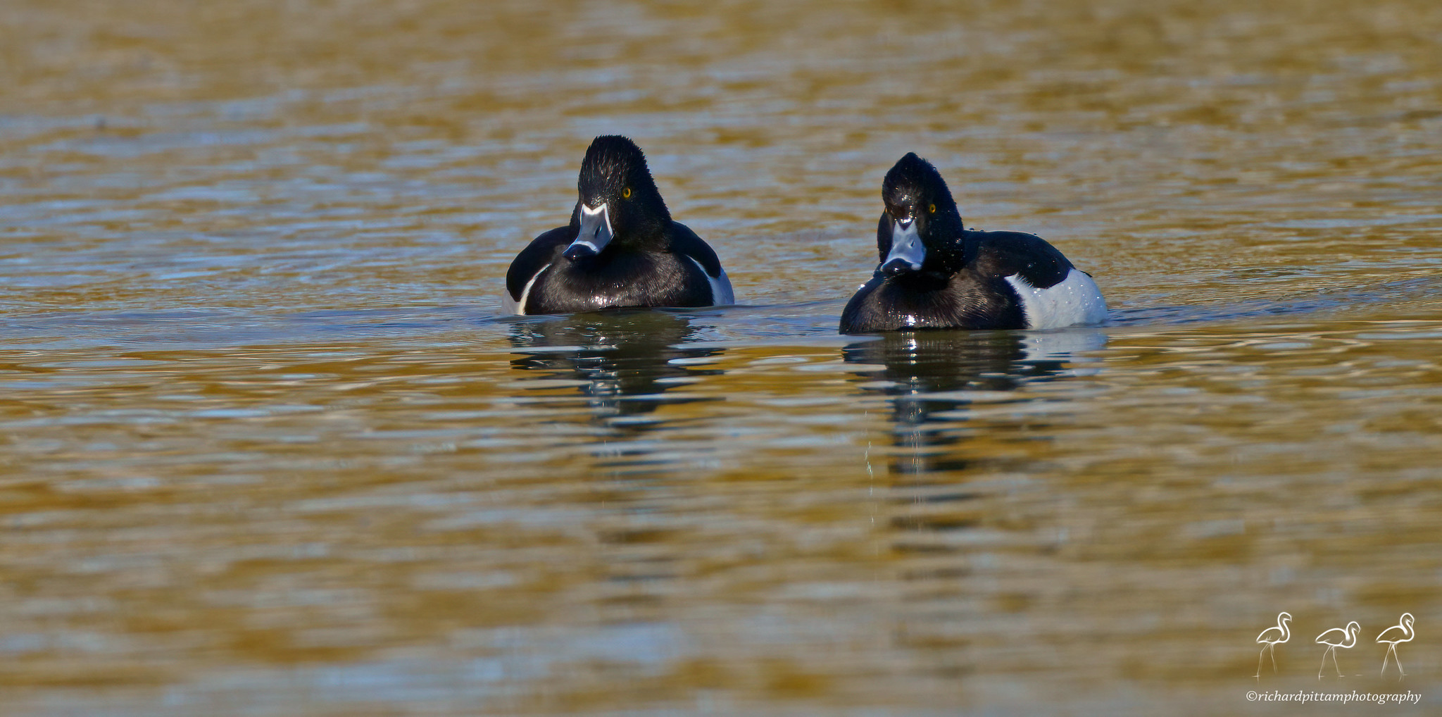 Ring-necked Duck - with Tufted Duck