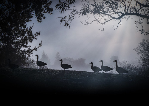 morning canadiangeese fremontca quarrylakes trees sunlight morningovercast fog lake fall landscape foggyday