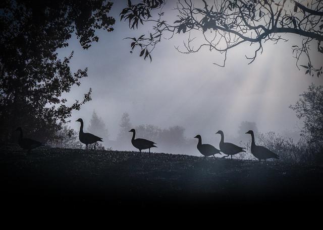 Morning Geese Walk at Quarry Lakes