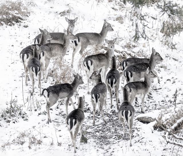 Fallow deer are so tough
