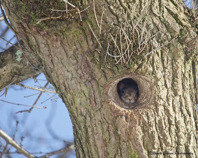 high in an oak tree