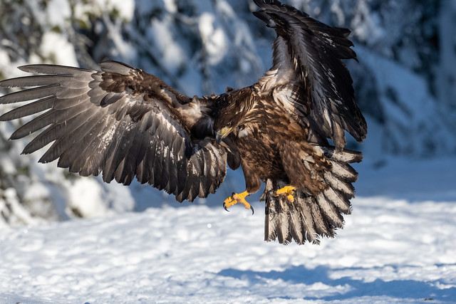 A young sea eagle ready for landing