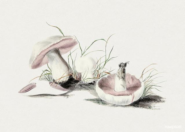 Hand drawn field mushroom. Original from Biodiversity Heritage Library. Digitally enhanced by rawpixel.