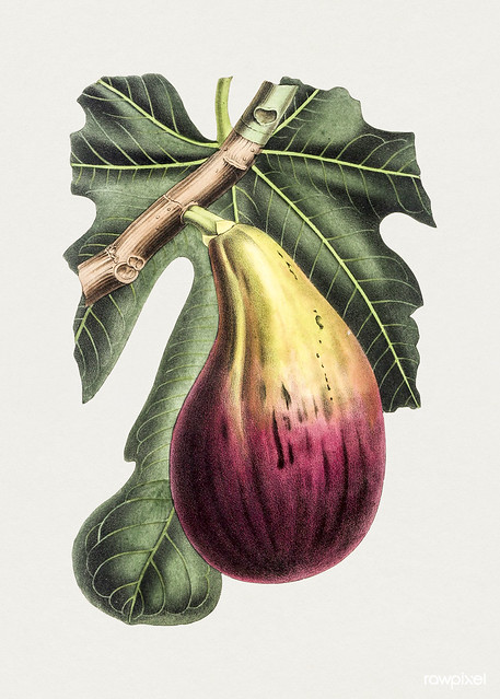 Hand drawn fig. Original from Biodiversity Heritage Library. Digitally enhanced by rawpixel.
