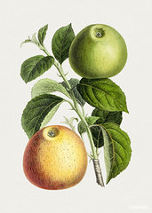Hand drawn apple. Original from Biodiversity Heritage Library. Digitally enhanced by rawpixel.