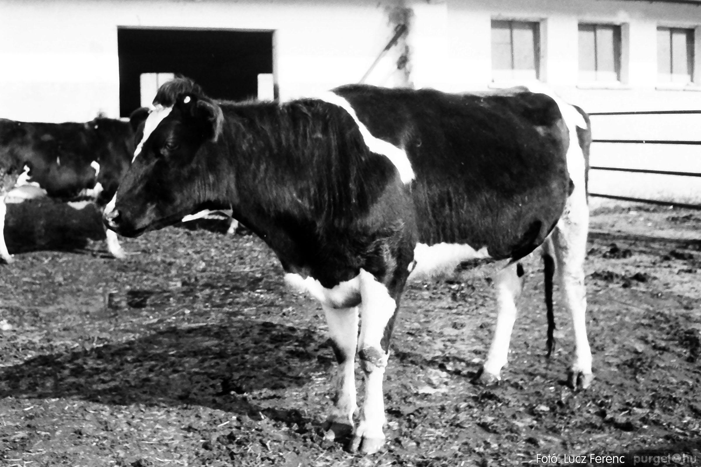 033-034. 1976. Élet a sápi tehenészetben 011 - Fotó: Lucz Ferenc.jpg