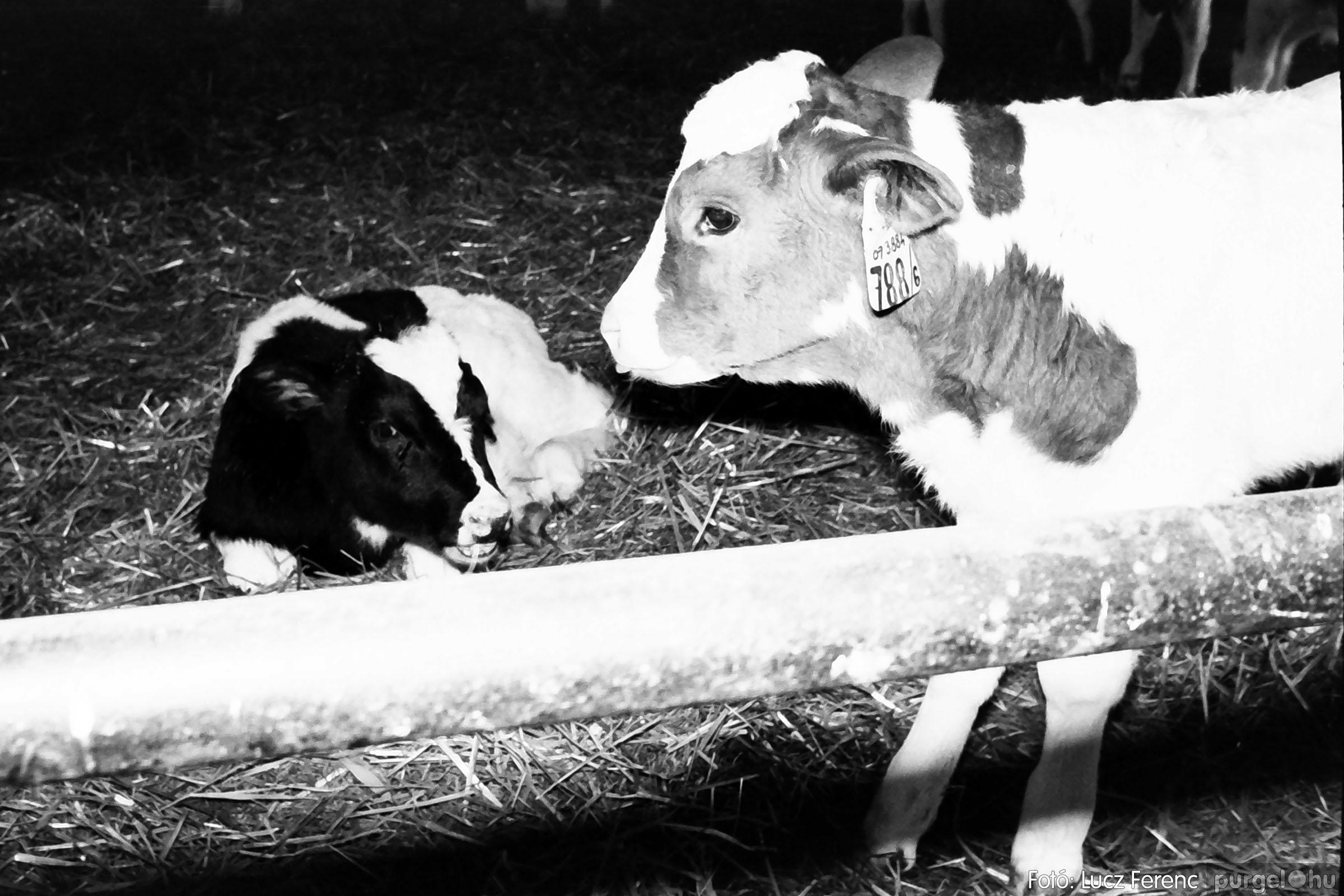 033-034. 1976. Élet a sápi tehenészetben 008 - Fotó: Lucz Ferenc.jpg